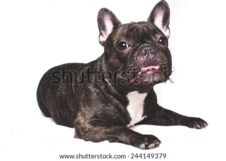 Black French bulldog on a white background - stock photo