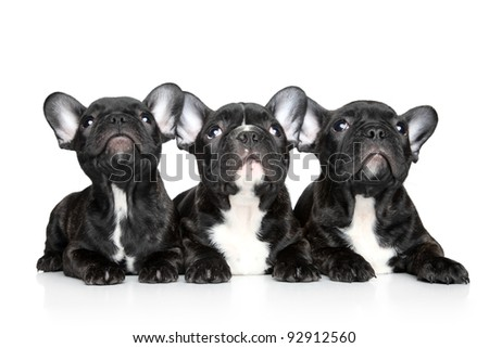 Black French bulldog puppies look up on a white background - stock photo