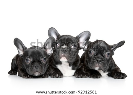 Black French bulldog puppies on a white background - stock photo