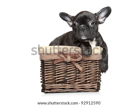 Black French bulldog puppy lies in basket on a white background - stock photo