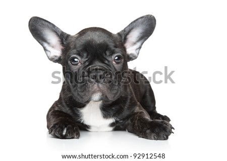 Black French bulldog puppy lies on a white background - stock photo