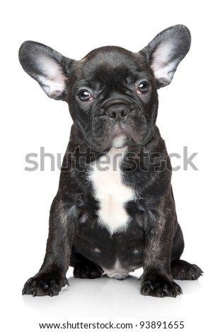 Black French bulldog puppy sits on a white background - stock photo