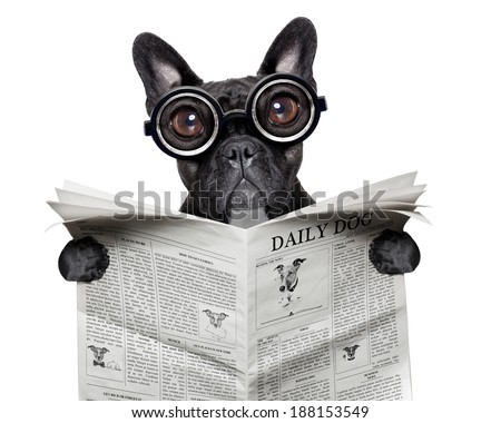 black  french bulldog reading a big newspaper - stock photo
