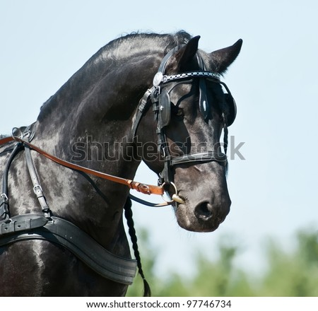 Black friesian horse carriage driving harness outdoor - stock photo