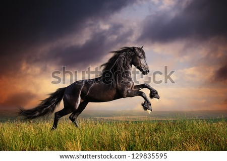 Black Friesian horse gallop - stock photo