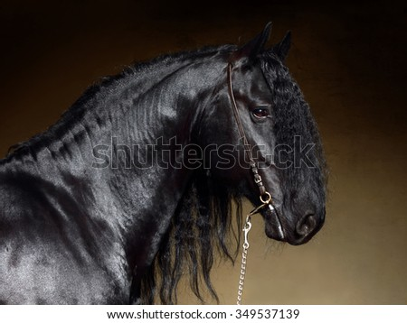 Black Friesian horse in stable