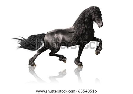 black friesian horse isolated on white - stock photo