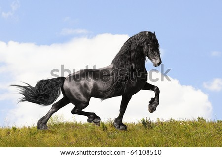 black friesian horse on the meadow in summer