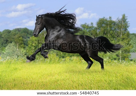 black friesian horse play on the meadow - stock photo