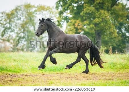Black friesian horse running on the pasture - stock photo