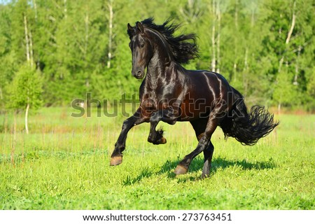 Black Friesian horse runs gallop in summer time - stock photo