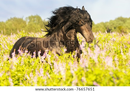 black friesian horse runs gallop on the meadow - stock photo