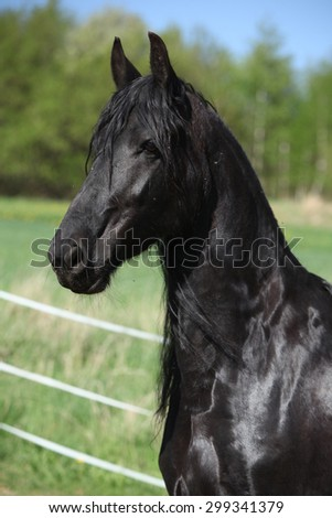 Black friesian mare standing alone in spring - stock photo