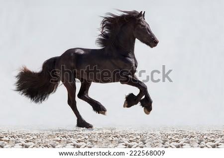 black friesian stallion gallop. isolated - stock photo