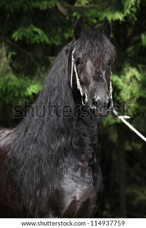 Black friesian stallion with long hair