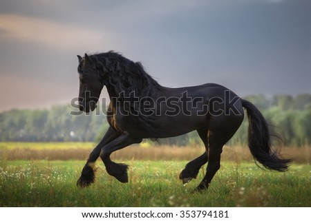Black Frisian stallion run in the green field on the trees background