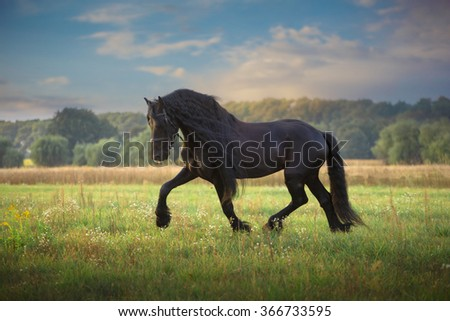Black  Frisian stallion run on the green field on the trees background