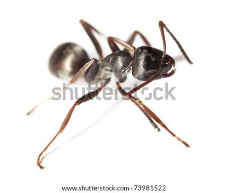 Black garden ant (Lasius niger) isolated on white background - stock photo