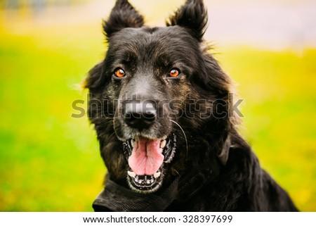 Black German Shepherd Dog. Close Up Portrait On Green Background - stock photo