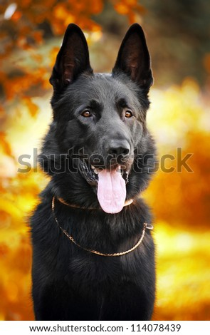 black German shepherd dog on the background of autumn - stock photo