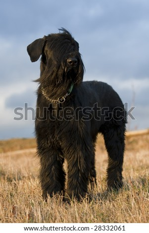 Black Giant Schnauzer on the hill