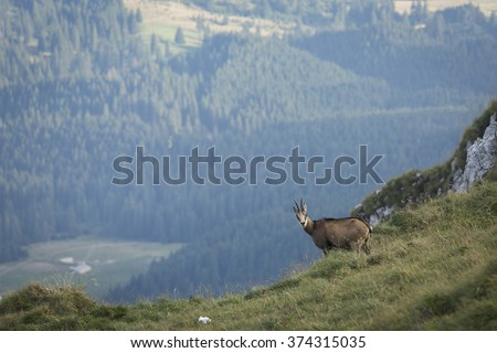 Black goat in the mountains wildlife - stock photo