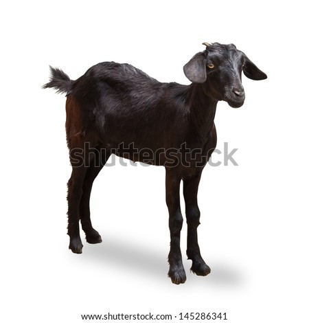 Black Goat Isolated On White with Clipping Path - stock photo