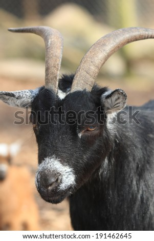 black goat portrait - stock photo
