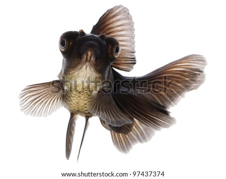 Black  Gold Fish on White Without Shade