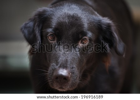 Black Golden Retriever Dog