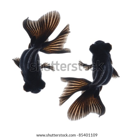 black goldfish isolated on white background from top view - stock photo