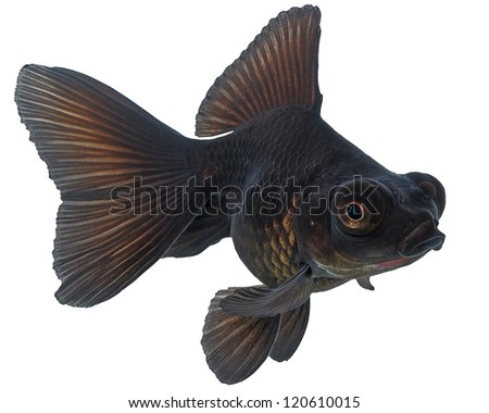 Black  Goldfish on White - stock photo