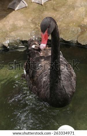 black goose swimming in lake - stock photo