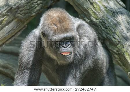black gorilla ape monkey close up portrait  - stock photo