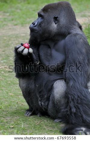 Black Gorilla Male - stock photo