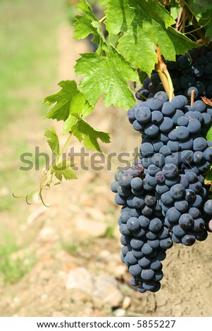 Black grapes detail, with a blurry background