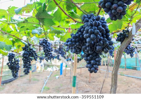 Black grapes in farm with blur background. - stock photo