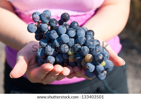 Black grapes in hands during autumn harvest - stock photo