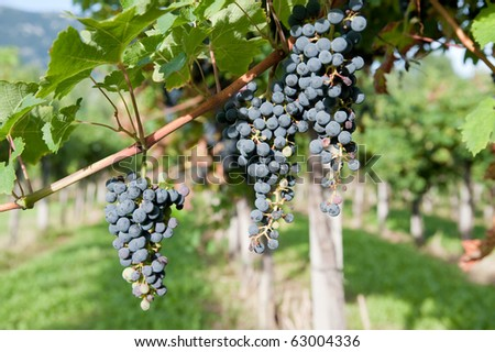 Black grapes in vineyard in autumn just before harvest - stock photo