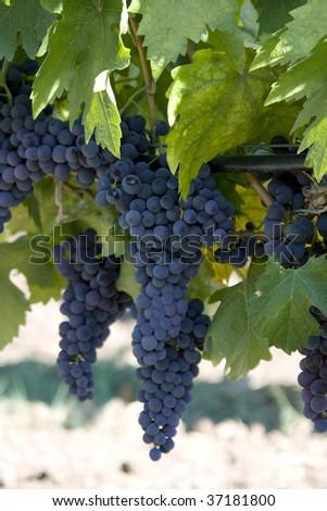 Black Grapes On Green wine Garden - stock photo