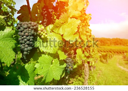 Black grapes vineyard in the region of Alsace, France grown specifically for making wine. - stock photo