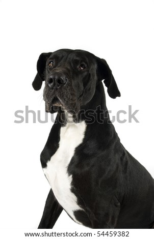 Black great dane looking away on white background