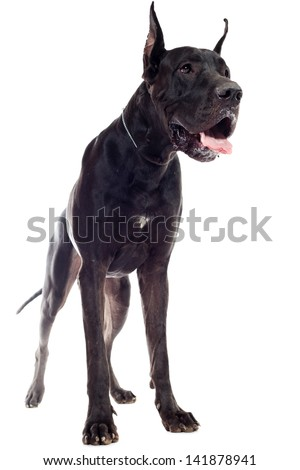 Black Great Dane sitting over white background - stock photo