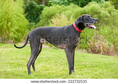 Black Great Dane standing to the side - stock photo