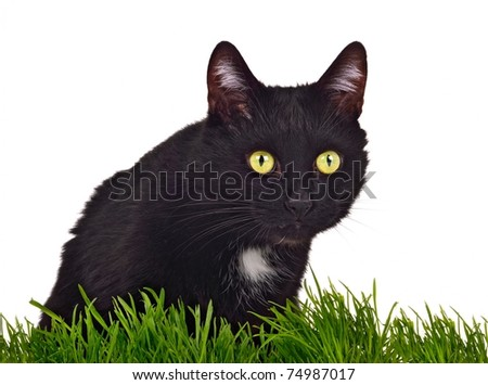 Black green-eyed cat behind grass isolated on white background - stock photo