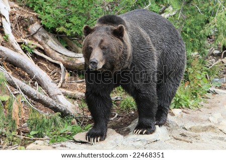Black grizzly bear in captivity at Grouse Mountain, Canada - stock photo