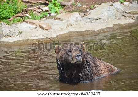 Black Grizzly bear playing in water - stock photo
