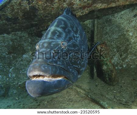 Black Grouper on a shipwreck - stock photo