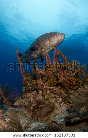 Black Grouper on the Reef - stock photo