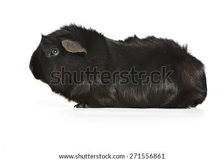 black guinea pig isolated on a white background with a soft shadow. shot from the side - stock photo